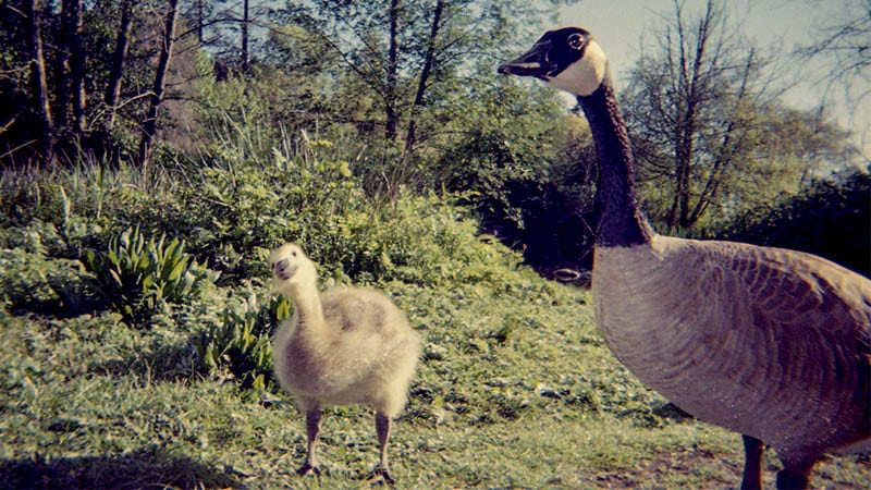 A photo of a goose and it's new baby Gosling