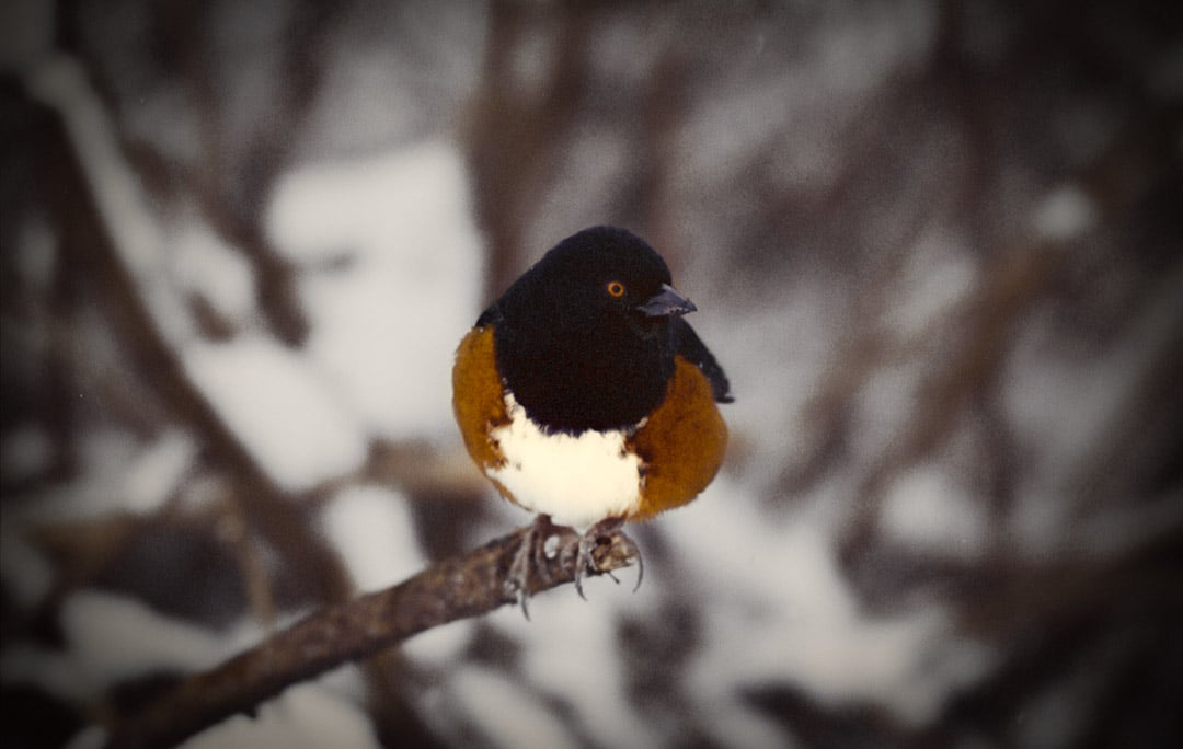 A spotted towhee on a branch